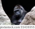 gorilla ape monkey close up portrait 55439355