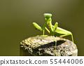黑尾螳螂的威脅 55444006