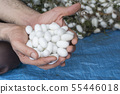 Man hand holding collection of white silkworm 55446018
