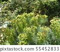 ดอกไม้สีเขียว Euphorbia 55452833