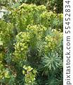 ดอกไม้สีเขียว Euphorbia 55452834