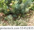 ดอกไม้สีเขียว Euphorbia 55452835