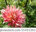 ดอกไม้กึ่งช่อดอกกระเจี๊ยบแดง 55455301