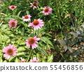 Murasaki Barengiku เรียกอีกอย่างว่า echinacea 55456856