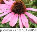 Murasaki Barengiku เรียกอีกอย่างว่า echinacea 55456859
