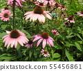 Murasaki Barengiku เรียกอีกอย่างว่า echinacea 55456861