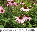 Murasaki Barengiku เรียกอีกอย่างว่า echinacea 55456863