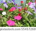 ดอกไม้ฤดูร้อน Petunia ดอกไม้สีแดงสีน้ำเงินสีขาว 55457269