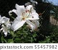 ดอกลิลลี่สีขาวขนาดใหญ่คือคาซาบลังก้า 55457982