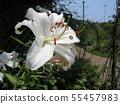 ดอกลิลลี่สีขาวขนาดใหญ่คือคาซาบลังก้า 55457983