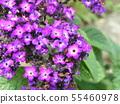 ดอกสีน้ำเงิน Heliotrope 55460978