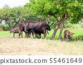소고기, 흑소, 육우, 젖소 55461649