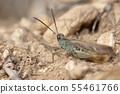 Grasshopper Omocestus minutissimus. 55461766