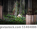 Baby panda in a pile of bamboo in Chengdu, China 55464886