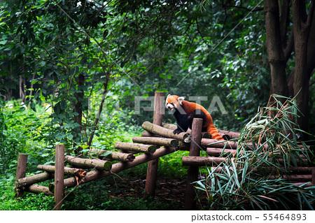 Red panda in Chengdu China 55464893