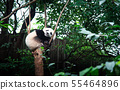 Baby panda on a tree in Chengdu, China 55464896