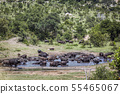 African buffalo in Kruger National park, South 55465067