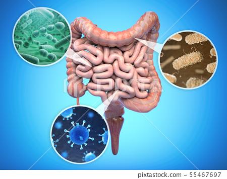 Bacteries of human intestine, Intestinal flora gut 55467697