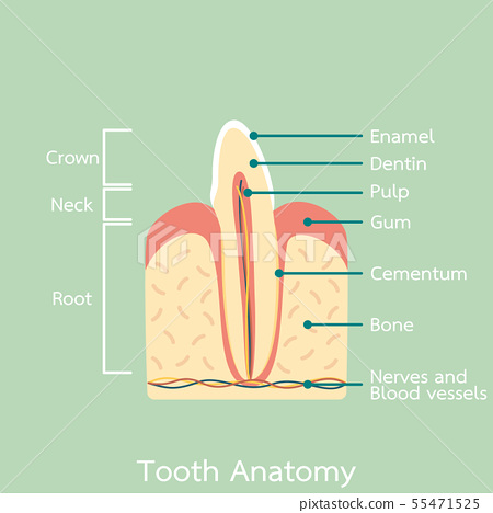 side view of incisor tooth anatomy structure 55471525