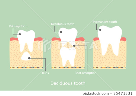 permanent tooth located below primary tooth 55471531