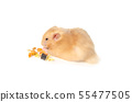 syrian hamster isolated on white 55477505