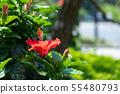 ดอกไม้ฤดูร้อน Hibiscus ดอกไม้สีแดง 55480793