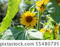 向日葵花夏天黃色花夏天花黃色花 55480795
