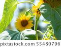 向日葵花夏天黃色花夏天花黃色花 55480796
