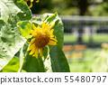 Sunflower flower summer yellow flower summer flower yellow flower 55480797