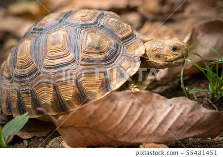 Turtle walks on the dry leaves in the forest. 55481451
