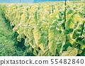 담배 잎 55482840
