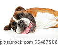 Happy German Boxer dog resting 55487508