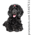 Poodle puppy resting on white background 55487531