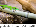 The green madagascar gecko, Phelsuma grandis lies 55487601
