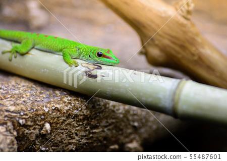 The green madagascar gecko, Phelsuma grandis lies 55487601