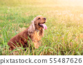 English cocker spaniel in the summer sunlit meadow 55487626