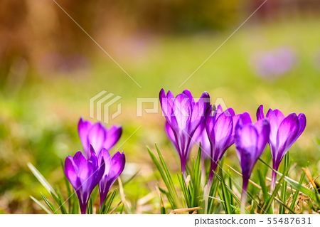 The crocuses are decorated in purple colors, the 55487631