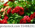 """아름다운 붉은 장미가 당신을 기다린다. 하지만 """"아름다움에는 가시가 있는법이다."""" 55488291"""