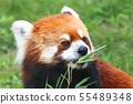 面對少熊貓 55489348