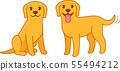 Yellow labrador retriever dog 55494212