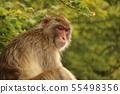 원숭이 55498356