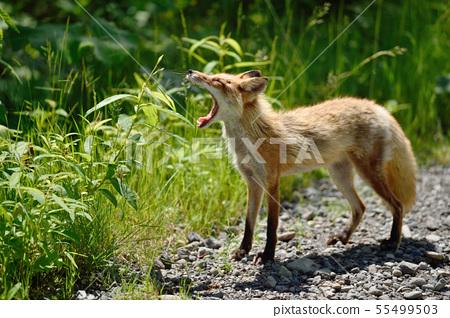 Northern fox met in the summer forest (Hokkaido) 55499503