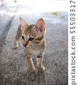 Cute little kitten standing outdoor.  55503317