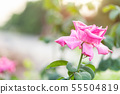 Fresh pink rose flower on branch with water drop in garden decoration 55504819