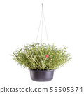 Common Purslane or Pusley in black plastic pot 55505374