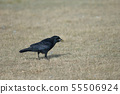Carrion crow with corn grains in its beak. 55506924