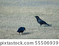 Carrion crow with corn grains in its beak. 55506939