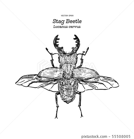 Stag beetle, hand draw sketch vector. 55508005