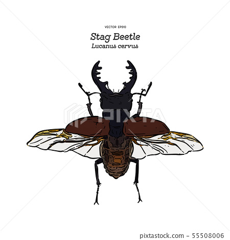 Stag beetle, hand draw sketch vector. 55508006