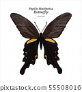 Papilio macilentus, the long tail spangle, is a 55508016